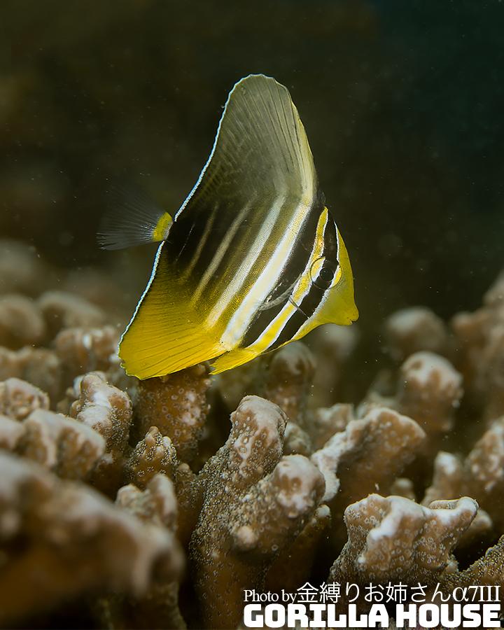 ヒレナガハギの幼魚