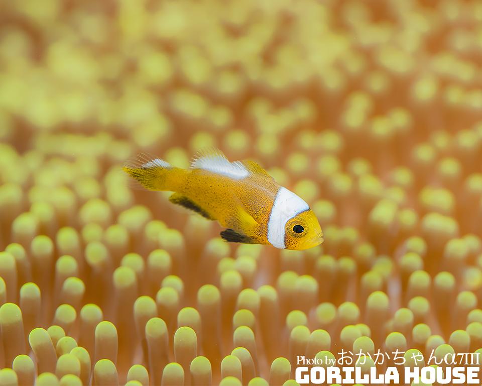 トウアカクマノミの幼魚