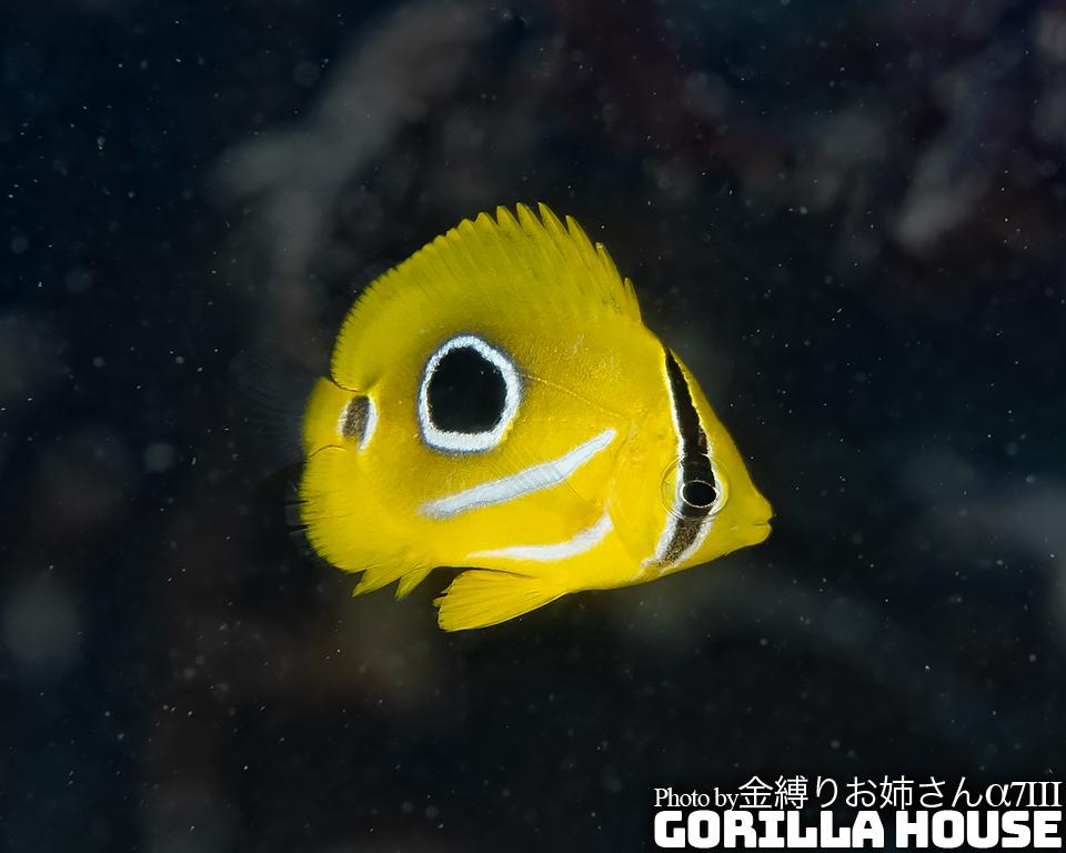 ウミヅキチョウチョウウオの幼魚