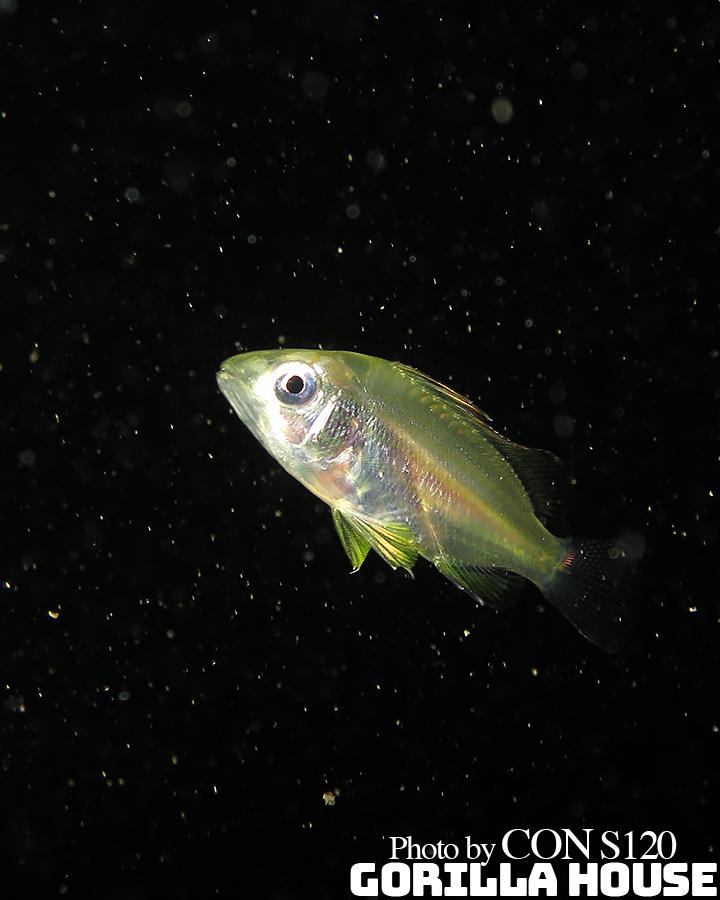 ヨスジフエダイの浮遊期稚魚