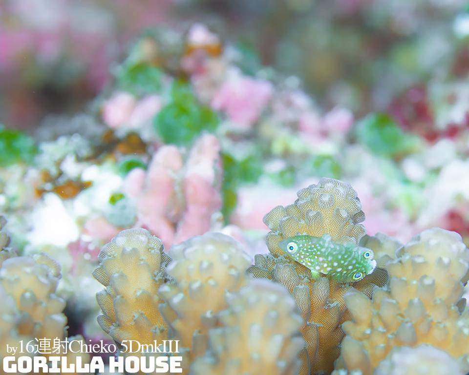 ホシススキベラの幼魚