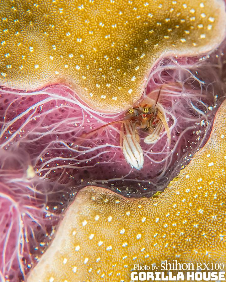 紫色のカイメンとカンザシヤドカリ