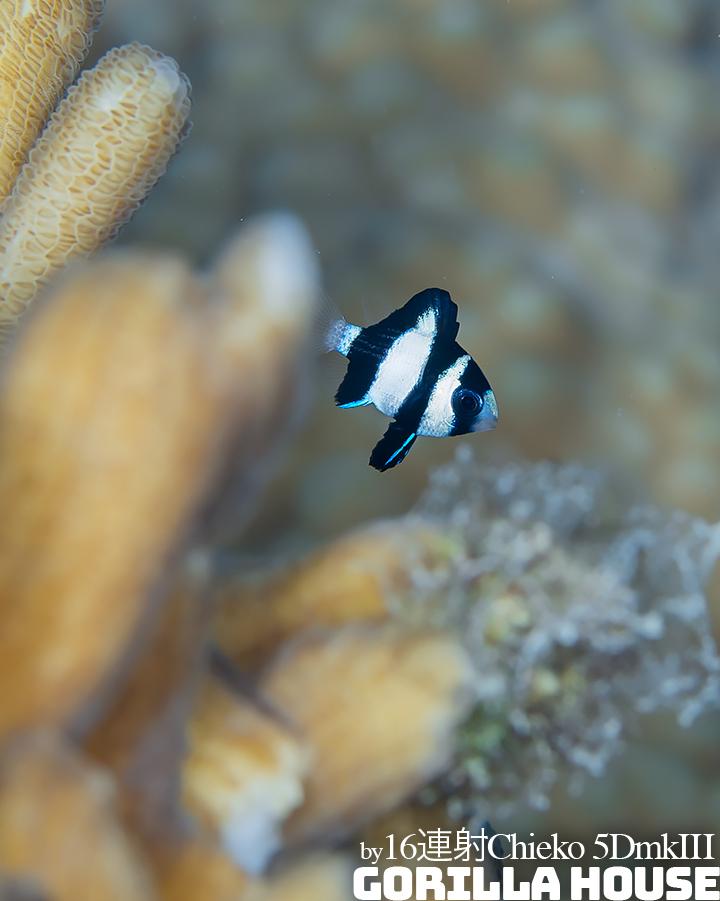 ミスジリュウキュウスズメダイの幼魚