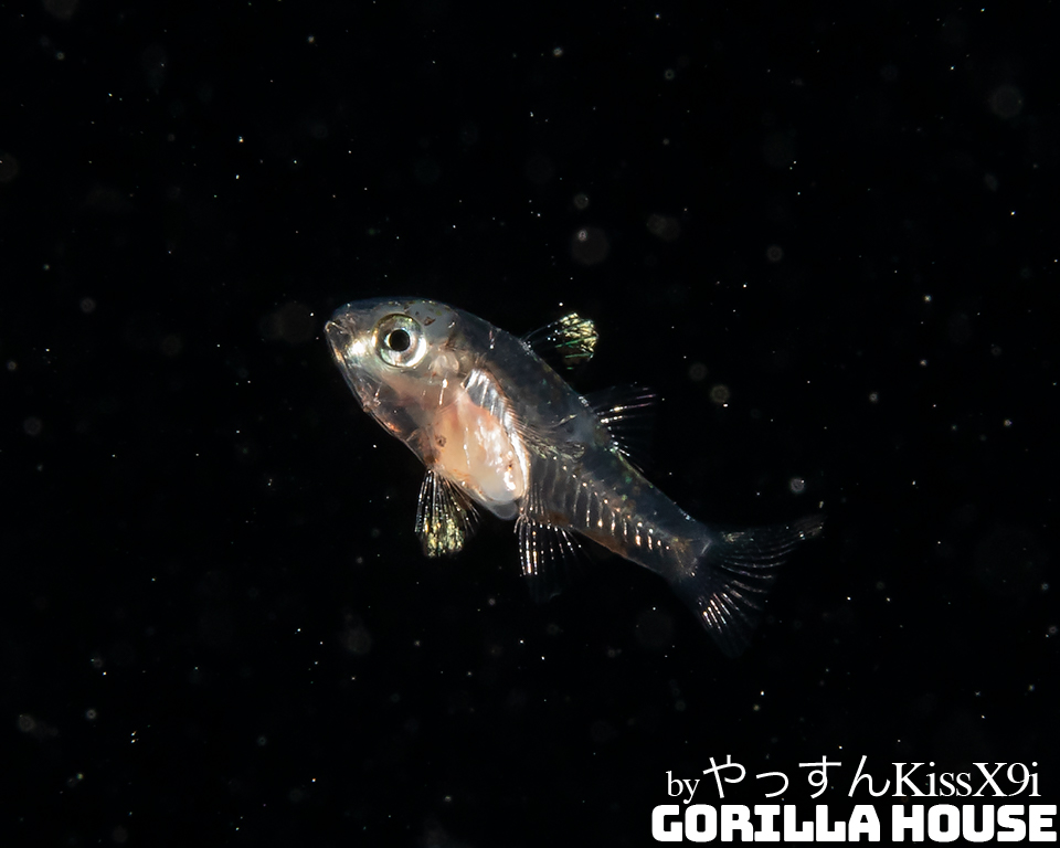 スズメダイ科の稚魚