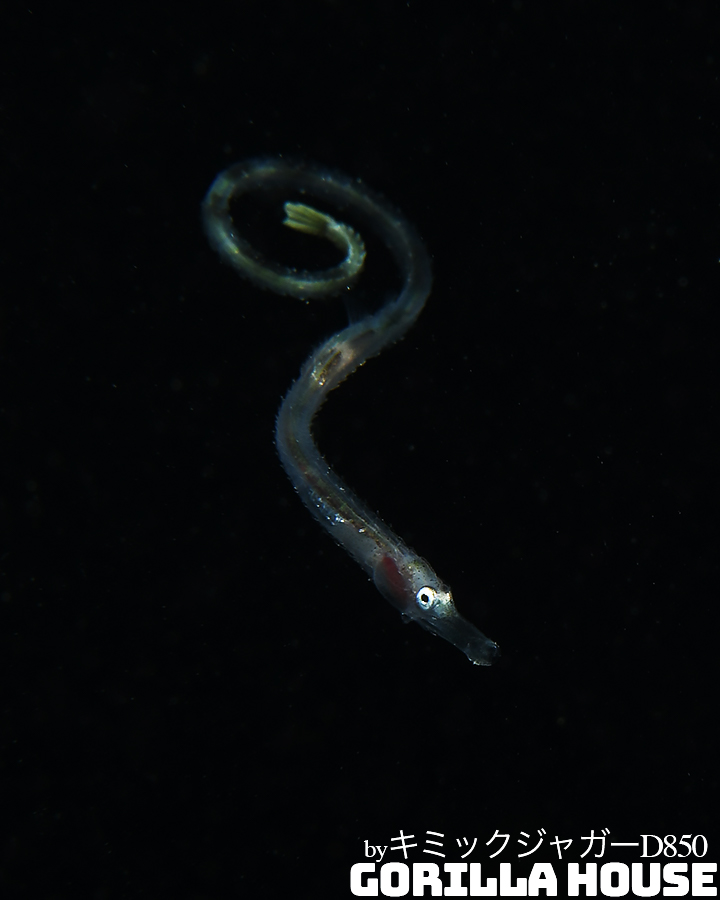 ヨウジウオ科の稚魚