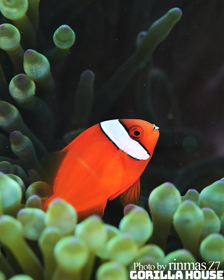 ハマクマノミの若魚