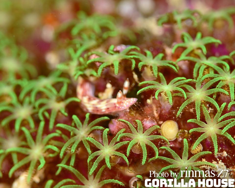 センテンイロウミウシとムラサキハナヅタ