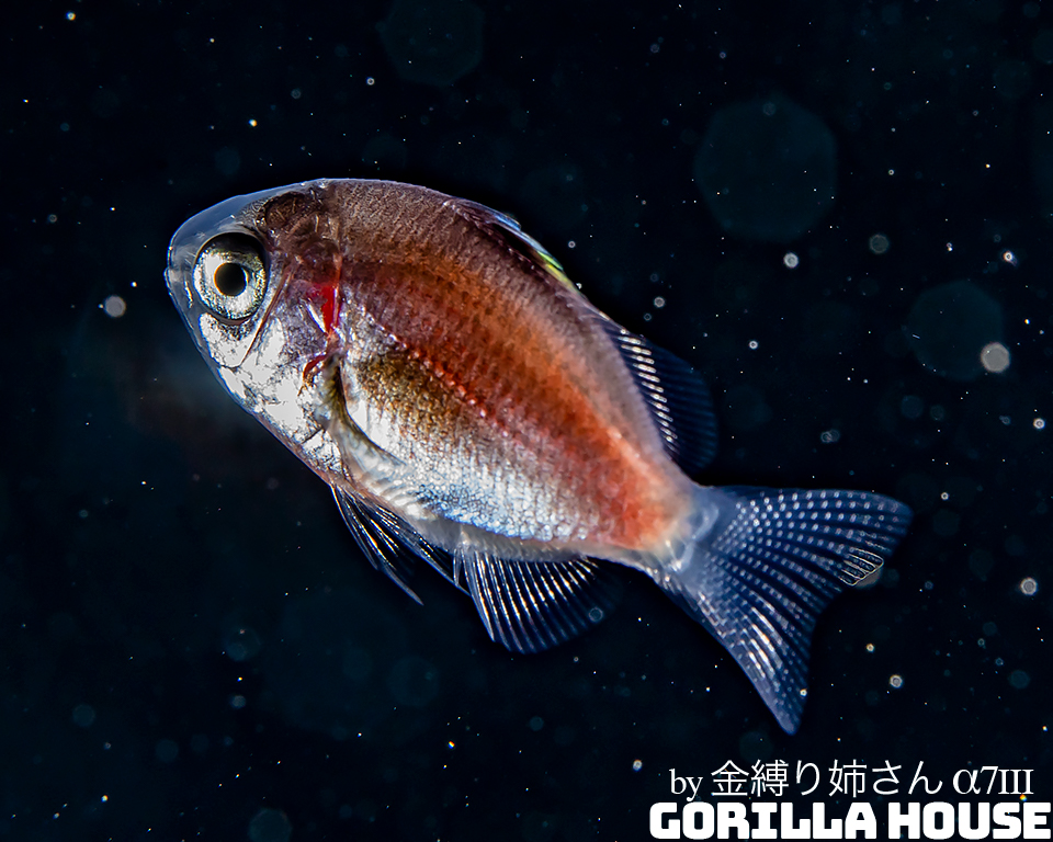 スズメダイ科の一種 浮遊期稚魚
