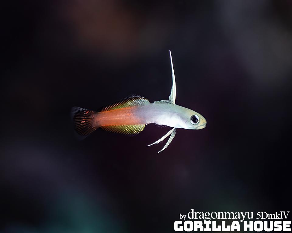 ハタタテハゼの幼魚