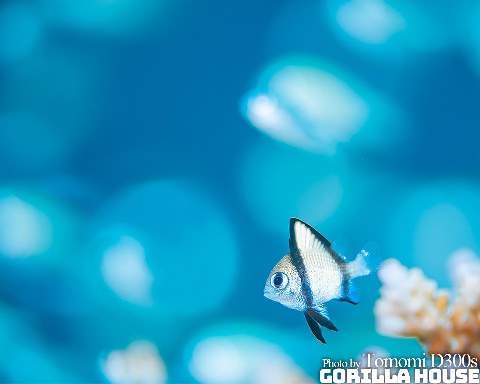 フタスジリュウキュウスズメダイの幼魚