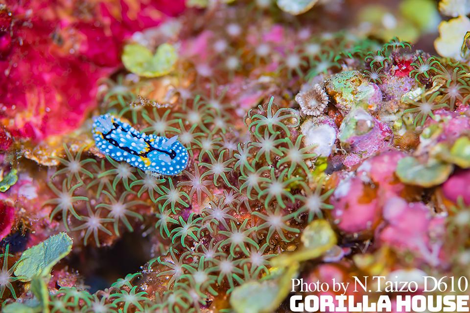 シモフリカメサンウミウシとムラサキハナヅタ