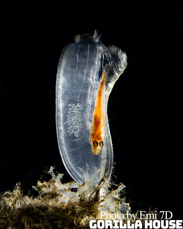 ウミショウブハゼ属の一種の抱卵
