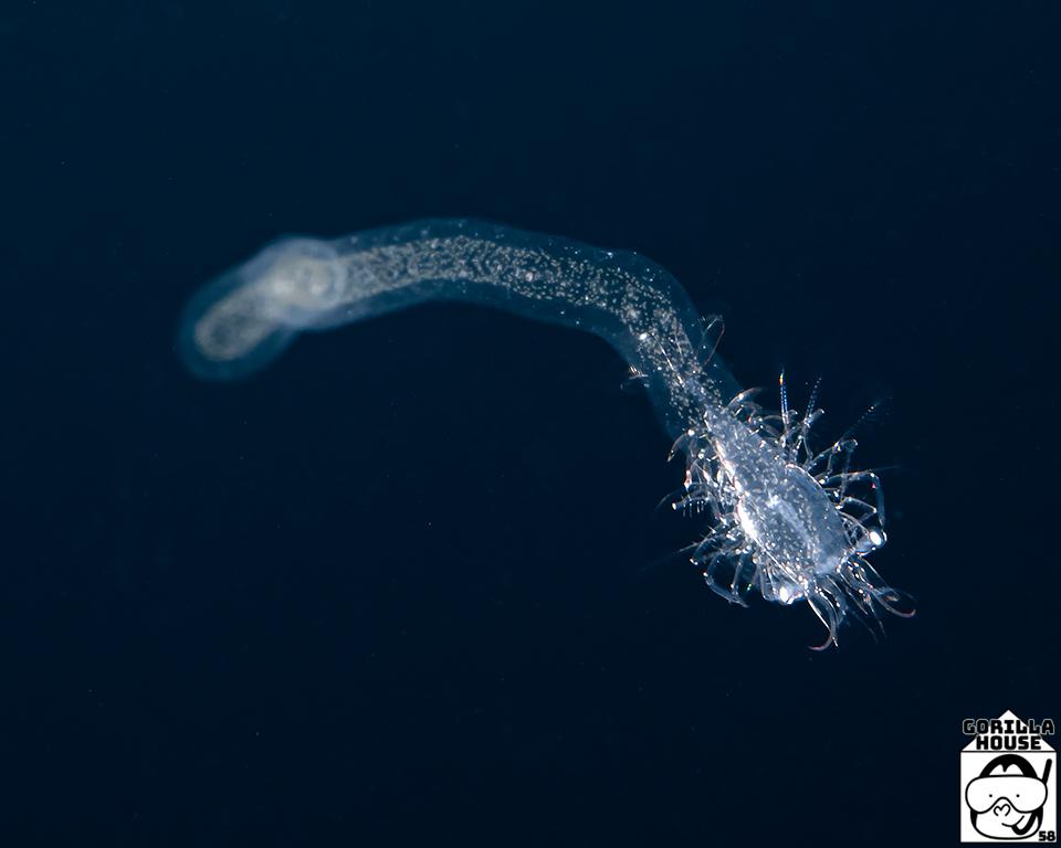 放散虫に乗るエビ類の幼生