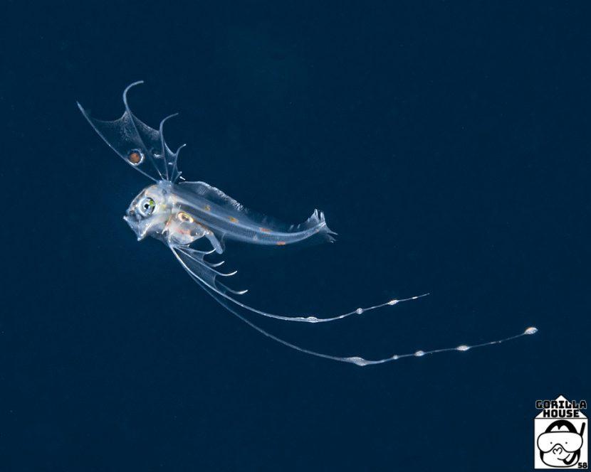 テンガイハタの稚魚