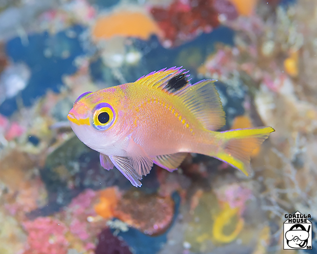 サクラダイの幼魚
