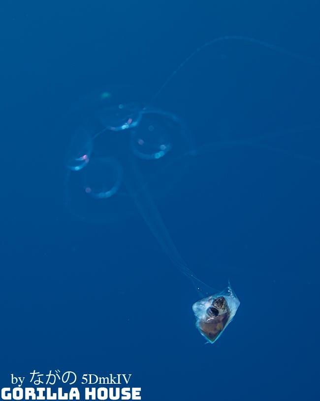捕食中のクラゲ